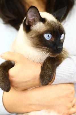 pisica-siameza-tinuta-in-brate-animal-nobil