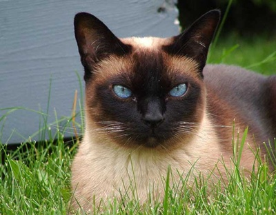 pisica-siameza-cusca