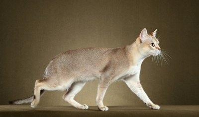 pisica-singapura-profil-ochi-mari