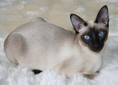 pisica-tonkineza-multa-atentie