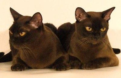 pisici-burmeze-gingivitele