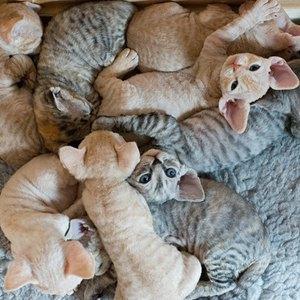 pisici-devon-rex-marime-medie