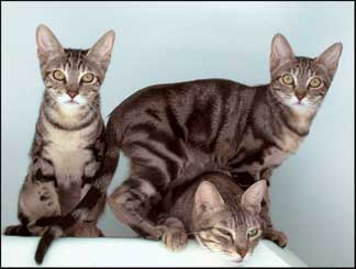 pisici-sokoke-pisici-salbatice