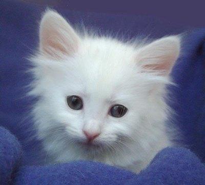 pisicuta-angora-turceasca-ataxia