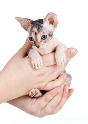 pisicuta-fara-par-Sfinx-vaccinarea