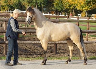 ponei-connemara-auriu-spectacole