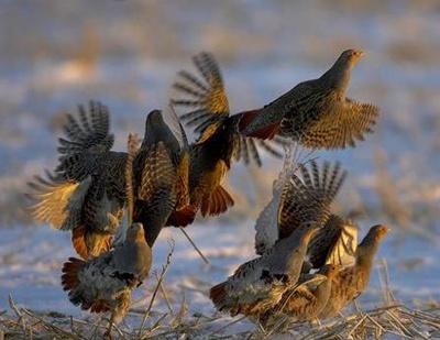 potarnichi-in-zbor-pasare-monogama