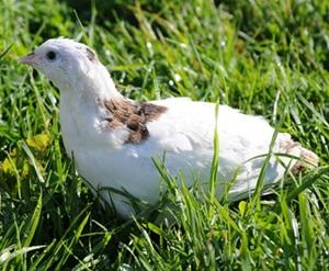 prepelita-alba-apa