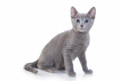 pui-de-pisica-albasra-de-rusia-carne