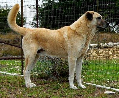 rasa-ciobanesc-anatolian-animal-curat
