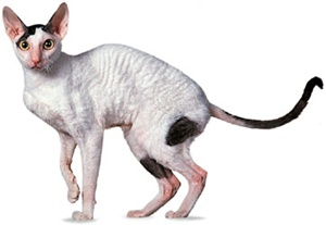 rasa-cornish-rex-animal-de-companie