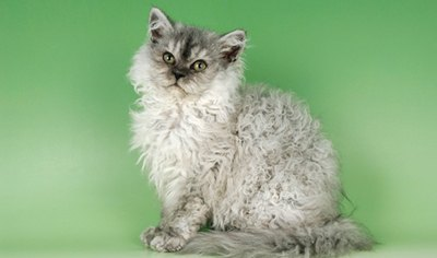 rasa-selkirk-pisica-in-blana-de-oaie