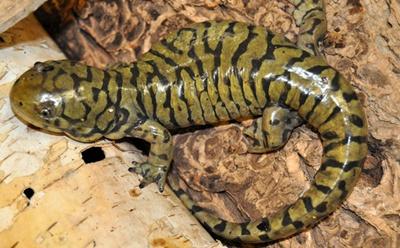 salamandra-galbena-culoare