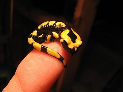 salamandra-pe-deget-amfibian