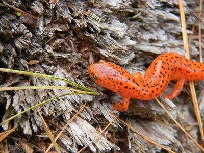 salamandra-rosie-hrana