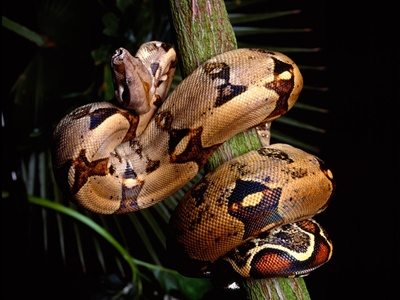 sarpe-boa-constrictor-capuse