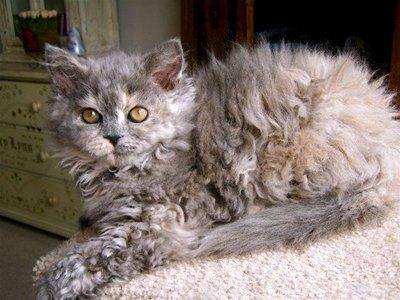 selkirk-pisica-jucausa