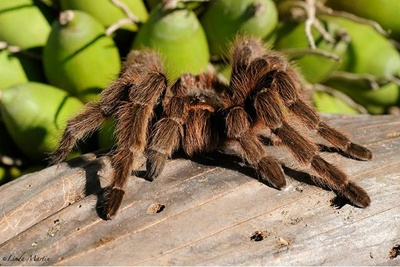 tarantula-fond-verde-paianjen