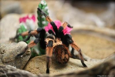 tarantula-pe-piatra-adaposturi