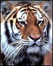 tigru-din-sudul-Chinei