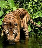 tigru-malaezian-dealuri