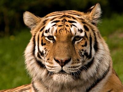 tigru-pe-cale-de-disparitie-draconajul-tigrilor