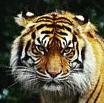 tigru-sumatran-paduri