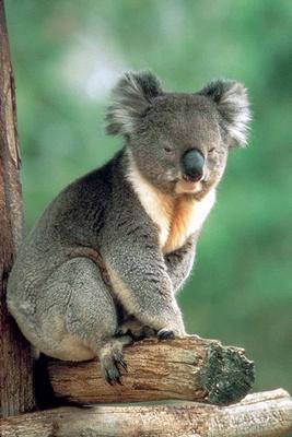 urs-koala-eucalipt