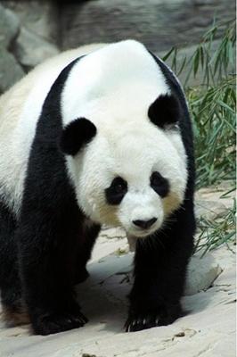 urs-panda-profil-mamifer-mare