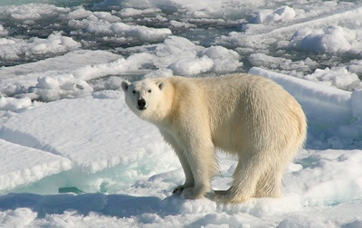 urs-polar-profil-blana