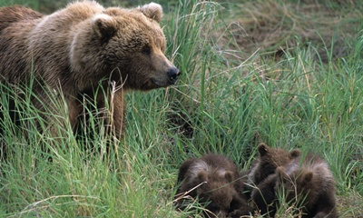 ursoaica-si-puii-hibernare