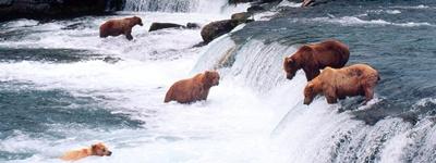 ursul-brun-in-apa-fructe-de-padure