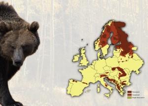 ursul-brun-in-europa-muschi-dezvoltati