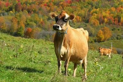 vaca-jersey-camp-iarba-proaspata