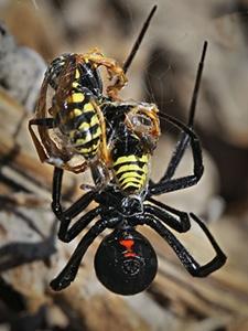 vaduva-neagra-albine-insecte