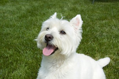 West-highland-white-terrier-in-iarba-marime-medie