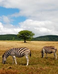 zebre-care-pasc-hipotigri
