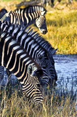 zebre-la-apa-iarba
