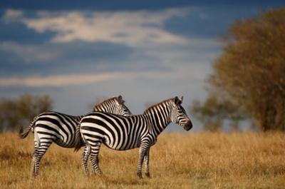 zebre-blana