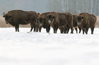 zimbru-bison-bonasus
